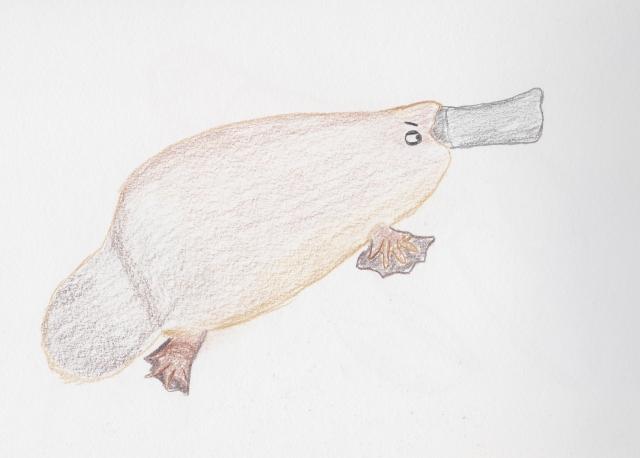 suspicious platypus.jpg